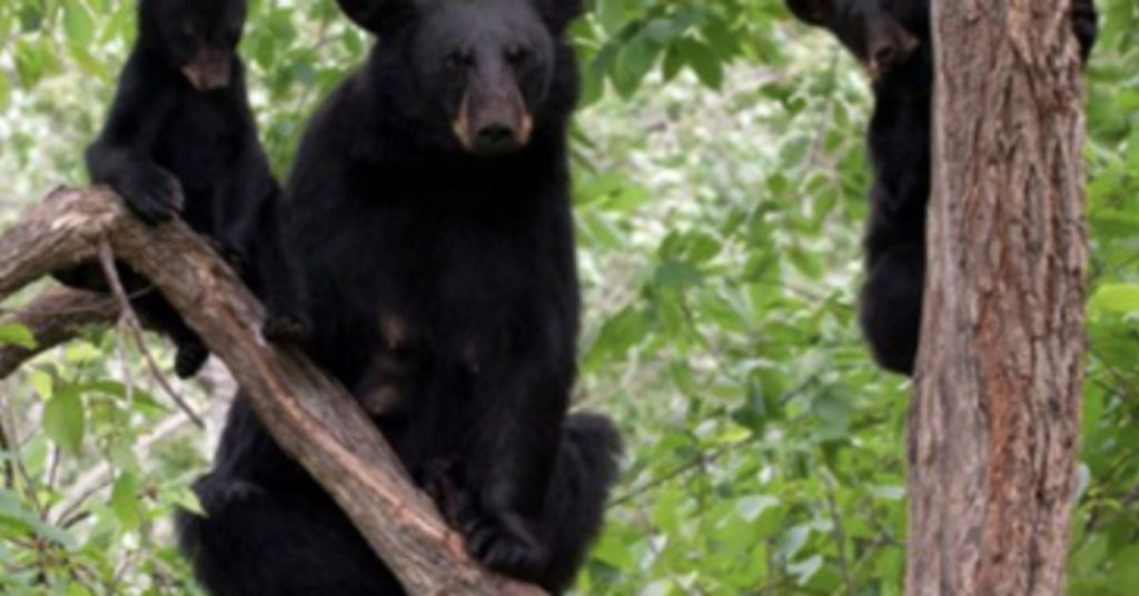 Officials Warn About Future Danger As Bear Attack Kills 39 Year Old Woman